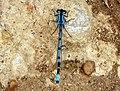 Common Blue Damselfly (Enallagma cyathigerum) (9655191382).jpg