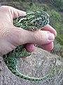 Common Chameleon (Chamaeleo chamaeleon) 01.jpg
