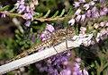 Common Darter- female Sympetrum striolatum - Flickr - gailhampshire.jpg