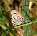 Common Fivering. Ypthima baldus. Nymphalidae. - Flickr - gailhampshire (1).jpg