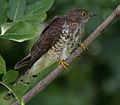 Common Hawk Cuckoo (Cuculus varius) in Hyderabad W IMG 8927.jpg