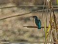 Common Kingfisher (Alcedo atthis) (33906793900).jpg