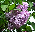 Common Lilac probably.jpg