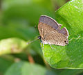Common Lineblue (Prosotas nora) in Hyderabad, AP W IMG 0503.jpg