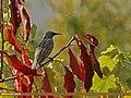 Common Starling (Sturnus vulgaris) (22706645289).jpg
