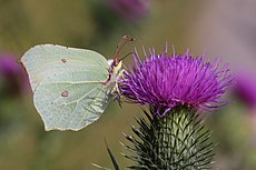 Common brimstone (Gonepteryx rhamni) female underside.JPG