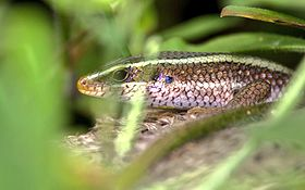 Common garden skink.jpeg