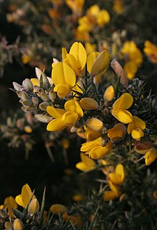 Common gorse flowers.JPG