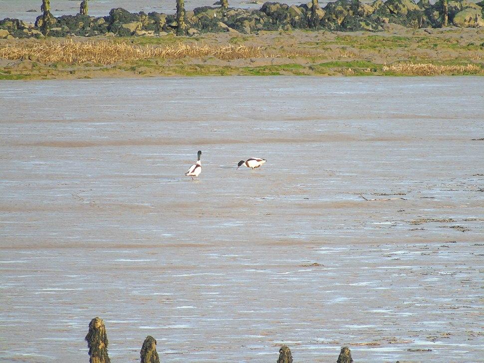 Common shelducks foraging on mudflats of the Severn Estuary at Newport Wetlands RSPB Reserve