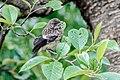 Common stonechat Saxicola torquata 17 cm.jpg