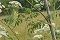 Conium maculatum leaf (09).jpg