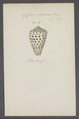 Conus eburneus - - Print - Iconographia Zoologica - Special Collections University of Amsterdam - UBAINV0274 086 02 0017.tif