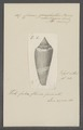 Conus ochroleucus - - Print - Iconographia Zoologica - Special Collections University of Amsterdam - UBAINV0274 085 10 0082.tif