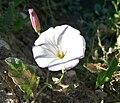Convolvulus arvensis 12.jpg