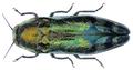 Coraebus fasciatus (Villers, 1789).png