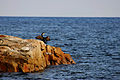 Corb marí assecant-se les ales a Fornells.jpg