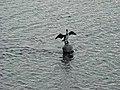 Cormorant on the Tyne - geograph.org.uk - 1052139.jpg