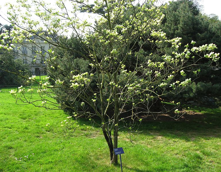 File:Cornus florida 01 by Line1.jpg