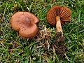 Cortinarius croceoconus Fr 617830.jpg