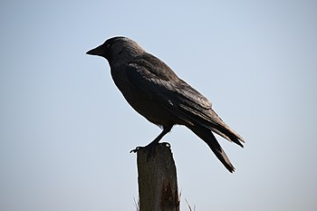 English: Western Jackdaw (Coeleus monedula) in...