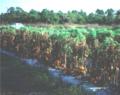 Corynespora cassiicola Severe Foliar Damade in Tomato Field.png