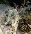 Corythoichthys schultzi Réunion.jpg