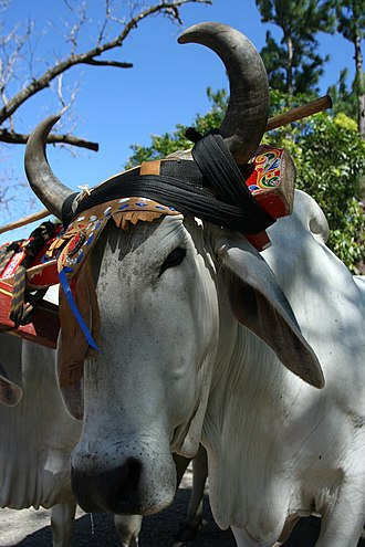 Guanacaste Province - Typical headdress of Costa Rican oxen