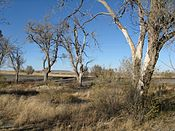 Cottonwoods, Vaughn NM.jpg