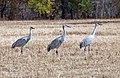 Cranes (4050665847).jpg