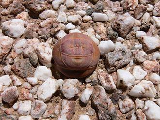 Crassula - Crassula columnaris