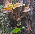 Crinkle-top mushrooms (22018923996).jpg