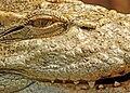 Crocodylus siamensis closeup.jpg
