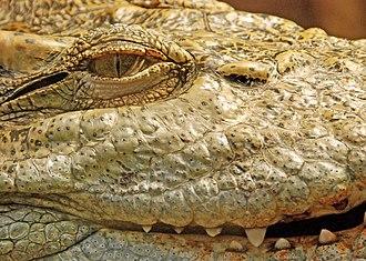 Pupil - Image: Crocodylus siamensis closeup