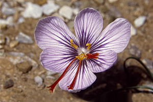 Crocus cartwrightianus Sounion 3.jpg