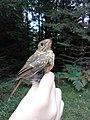 Crvendać (Erithacus rubecula) European robin juvenile.jpg
