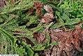 Cryptomeria japonica Cristata 3zz.jpg