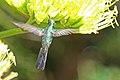 Cuban Emerald (Chlorostilbon ricordii) (8592689580).jpg