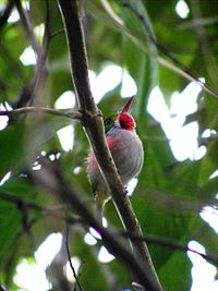 Cuban Tody (Todus multicolor) - Cienega De Zapata - Will Greene