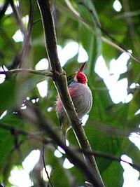 Cuban Tody (Todus multicolor) - Cienega De Zapata - Will Greene.jpg