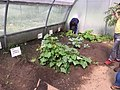 Cultivo del Pepino Cucumber 7.jpg