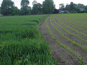 Muddy flood - Difference of soil cover by vegetation for two crops (winter wheat vs. maize) at the end of May, in central Belgium