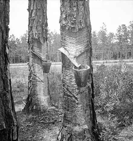 """Herty system"" in use on turpentine trees in Northern Florida, circa 1936 CupGutterSystem.jpg"