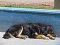 Curico, perro callejero durmiendo en piscina vacia (9129100451).jpg