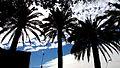 Curico palmeras (14753633137).jpg