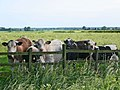 Curious cows at Swinthorpe - geograph.org.uk - 186992.jpg