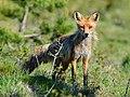 Curious fox (49981762186).jpg