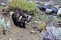 Cute Grizzly Bear Cub (48847666381).jpg