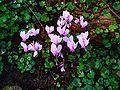 Cyclamen hederifolium 001.JPG