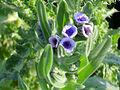 Cynoglossum creticum Flores 2011-4-16 CampodeCalatrava.jpg