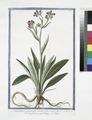 Cynoglossum montanum, virenti folio, minore flore - Cinoglossa - Langue di Chien. (Dog's or Hound's tongue) (NYPL b14444147-1125066).tiff